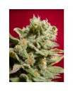 Dutch Dragon - 3szt. PARADISE SEEDS