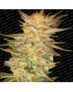 Ice Cream - 3szt. PARADISE SEEDS